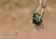 Cigarrinha - Fulgoridae: Poiocerinae (Marquinhos Aventureiro) Tags: brazil brasil wildlife natureza vida floresta selvagem cigarra fulgoridae cigarrinha poiocerinae hx400 marquinhosaventureiro