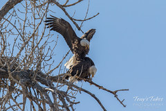 Bald Eagles copulating sequence - 9 of 28