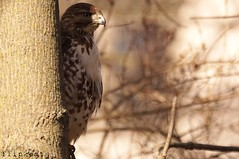 The King Of Pain (flipkeat) Tags: bird nature closeup port hawk awesome watching birding credit raptor falcon redtailed parda buteo jamaicensis aguililla juvinile rtha