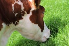 Delta Freedom (excellentzebu1050) Tags: grass animal closeup outdoors cow cattle outdoor farm animalportraits dairycows coth5 grassgrassforthemodels2015june
