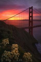 Golden Gate Flowers, San Francisco, CA (wesome) Tags: sanfrancisco sunrise goldengatebridge adamattoun