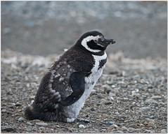 Magellanic Penguin (mueflickr) Tags: chile travel bird tierradelfuego molt seabird 2016 magellanicpenguin spheniscusmagellanicus borderfx
