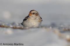 _H2A7851.jpg (AMPMartins) Tags: aves animais escrevedeiradasneves