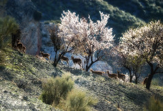 Cabras-monteses (Lucas Gutirrez) Tags: granada sierranevada almendros cabrasmonteses granadanatural