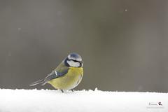 Blue tit in the snow (Rixoon) Tags: wild snow bird birds animal nikon bokeh contemporary sigma fx bluetit fglar d610 blmes 150600