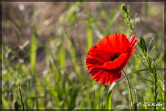 IMG_8497 (skywallkehr) Tags: fleurs coquelicots