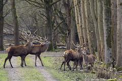 Cervus Elaphus (Ouwesok) Tags: oostvaardersplassen cervuselaphus edelhert sonysltalfa58 sigmaapo56400mmmacro