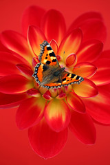 Love Life (brianrosshaslam) Tags: uk dahlia red flower floral butterfly devon smalltortoiseshell paignton redbackground dahlialovelofe