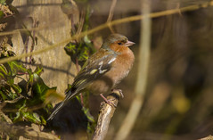 Chaffinch (male) (explored) (wayne.withers1970) Tags: