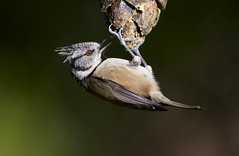 Crested Tit (J J McHale) Tags: nature scotland highlands dof wildlife cairngorms crestedtit crestie