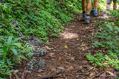 Big carpet python on the track (NettyA) Tags: track snake australia trail bushwalking qld queensland python bushwalk carpetsnake springbrook carpetpython goldcoasthinterland 2016 moreliaspilota springbrooknationalpark scenicrim seqld moreliaspilotaspilota warriecircuit bushwalker scbwc sonya7r