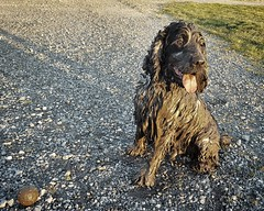 Mud Monster (Anthony de Schoolmeester) Tags: happy messy spaniel cocker cockerspaniel muddy blueroan englishcockerspaniel cockerpotumus