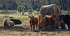 Winter Grazing. (artanglerPD) Tags: winter sunshine cows hay bales calves grantownzoom