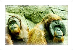 Faces Of Captivity (MEaves) Tags: nature sadness faces apes captivity primates orangs