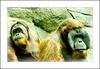 Faces Of Captivity (MEaves) Tags: nature sadness faces apes captivity primates orangs