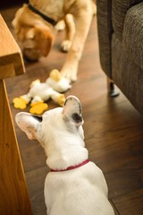 Hmm what did you say his name was? (Sharron Burns) Tags: puppy labrador frenchbulldog