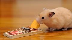 The Last Bite ( 50mm) (disgruntledbaker1) Tags: hamsters disgruntledbaker