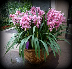 Pot of pink orchids (edenseekr) Tags: pink orchids pa longwoodgardens