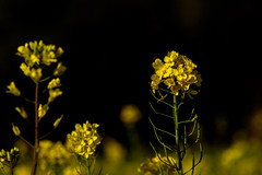 In The Field of Rapeseed #2 (kurumaebi) Tags: macro nature landscape nikon blossom bee d750 yamaguchi 花 マクロ 菜の花 蜂 秋穂 山口市