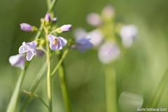 Kievitsbloem-9463 (Josette Veltman) Tags: macro photowalk lente zwolle overijssel landschap zeldzaam kievitsbloem kievitsbloemen photowalkzwolle checkersflower