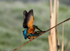 Kingfisher Pair Mating Alcedo atthis 012-1 (cwoodend..........Thanks) Tags: explore kingfisher 2016 alcedoatthis inexplore kingfisherpair inexplore190416