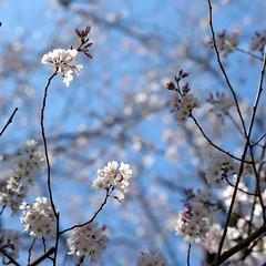 ✪ご近所の道ばたの桜① -愛知県犬山市- (m-miki) Tags: japan cherry nikon blossoms 桜 花 愛知 犬山 春 d610