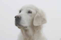 Foggy morning portrait (Ingrid0804) Tags: goldenretriever glamourshot foggymorning 100commentgroup posingsowell