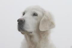 Foggy morning portrait (Ingrid0804) Tags: goldenretriever glamourshot foggymorning 100commentgroup posingsowell
