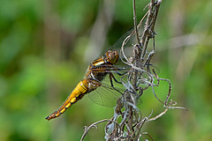 Libellula depressa - the Broad-bodied Chaser (immature male) (BugsAlive) Tags: uk macro nature animal insect dragonflies dragonfly outdoor wildlife insects wiltshire odonata libellulidae broadbodiedchaser libelluladepressa libellulinae liveinsects lowermoorfarmnr