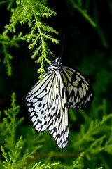 Papillons en Libert 2016 - Photo 31 (Le Chibouki frustr) Tags: macro butterfly insect nikon dof montral bokeh montreal butterflies insects fullframe fx botanicalgarden pdc jardinbotanique homa montrealbotanicalgarden hochelagamaisonneuve closeupfilter closeuplens jardinbotaniquedemontral d610 610 macrophotographie butterfliesgofree papillonsenlibert tamron28300mmf3563 fifthvisit nikond610 papillonsenlibert2016 butterfliesgofree2016 cinquimevisite
