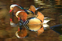 Canards mandarin - Mandarin duck - Aix galericulata (R. Bartho) Tags: nature animal lumire ngc mandarin extrieur reflets animalplanet oiseau canard etang naturebruxelles