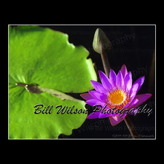 Waterlily (wildlifephotonj) Tags: flowers waterlily lily lilies waterlilies naturephotography naturephotos flowerphotos flowerprints natureprints naturephotographynj