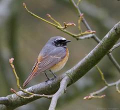 redstart (Simon Dell Photography) Tags: uk red bird start cool awsome rare sighting redstart