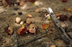 Umbus (alcesterdiego) Tags: brasil flora bahia pedra redonda serto caatinga semirido caetit