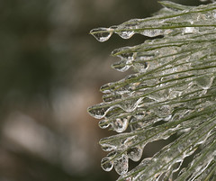 Ice Droplets (Light Collector) Tags: ontario canada storm ice pine easter frozen spring branch outdoor needles freezingrain goodfriday odc stayner clearviewtownship theflickrlounge mar2516 weeklythemestartswiththeletterf