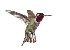 Anna's Hummingbird (Male) on White (MCH-1138) Tags: bird nature nikon hummingbird wildlife 300mm whitebackground annas bif birdinflight strobist hummingbirdinflight phottix d7000 nikonafsnikkor300mmf4difed
