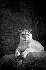 (089/366) Lioness (CarusoPhoto) Tags: park wild blackandwhite bw white chicago black eye animal rock female project john lens ed zoo photo spring day pentax lion da lincoln contact 365 caruso smc 50200mm lioness wr basking ks2 bask 366 f456 carusophoto smcpentaxda50200mmf456edwr