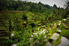 rice_terraces_ubud