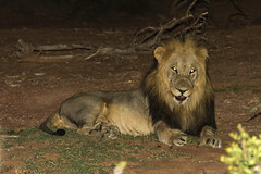 Night Hunter (Kev Gregory (General)) Tags: africa mountain game mountains male field night river private king leo african district south flash lion reserve sigma safari jungle hunter guide shaun 50500 gregory predator kev limpopo waterberg panthera jenkinson thabazimbi marakele marataba motlhabatsi