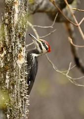 _DSC1499 (Putneypics) Tags: bird woodpecker vermont dryocopuspileatus putney pileatedwoodpecker foraging dryocopus putneypics