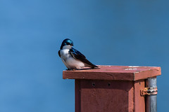 DSC_9765-2 (rskim119) Tags: ca blue tree bird animal nikon san wildlife joaquin swallow tamron sanctuary irvine 70300 d3300