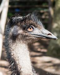 At Jungle Park (Fjola Dogg) Tags: vacation espaa holiday bird birds animal animals canon island zoo spain europe tenerife emu fugl evropa dromaiusnovaehollandiae dr dromaius fuglar junglepark evrpa fjoladogg fjladgg canonpowershotg7x canong7x