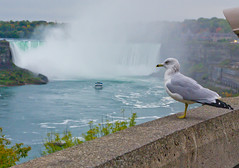 Sea Gull (chuckh6) Tags: bird gull niagara waterfalls