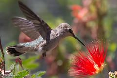 IMG_3201.jpg (ashleyrm) Tags: travel arizona birds museum sonora desert tucson hummingbirds birdwatching avian tucsonarizona hummingbirdaviary