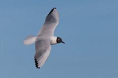 Elegant (Luis-Gaspar) Tags: bird portugal animal nikon iso400 seagull gull ave oeiras f56 guincho passaro larusridibundus 14000 blackheadedgull d60 guinchocomum 55300