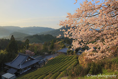 Cherry Blossoms and  Green tea plantation (HDR) (ryex) Tags: landscape spring cherryblossom hdr teaplantation
