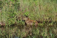 Capybara (* Ayce *) Tags: brazil wildlife pantanal capybara brsil
