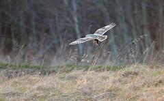 Jorduggla - Short-eared Owl - Sumpfohreule (Kenya1960) Tags: bird nikon sweden vögel skövde fågel shortearedowl skaraborg skovde sumpfohreule jorduggla tamron150600