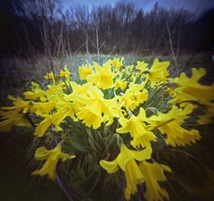 Mostly Reflections (wheehamx) Tags: double frame daffodils blend barony