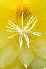 ()/Epiphyllum hybrids (nobuflickr) Tags: flower nature japan kyoto   orchidcactus thekyotobotanicalgarden   awesomeblossoms epiphyllumhybrids   20160419dsc07531